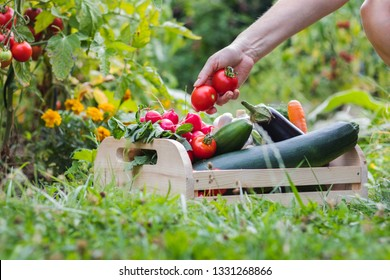 Woman´s hands picking fresh tomatoes to wooden crate in organic farm. Farmer harvesting homegrown produce from vegetable garden