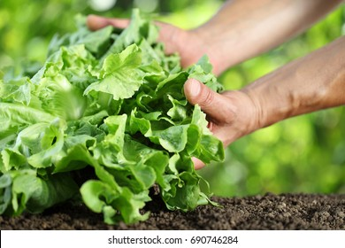 Hands picking lettuce, plant in vegetable garden, close up