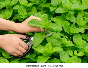 Hands picking mint plant in garden