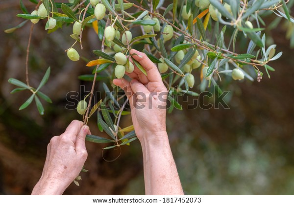 Hands picking olives from tree at harvest