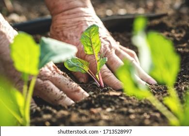 Bauernhand pflanzt Kohlrabi im Gemüsegarten. Gartenarbeit im Frühling. Eigene Erzeugnisse auf ökologischem Landbau