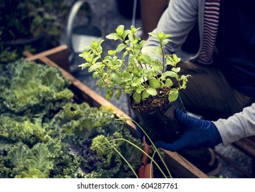 Hands planting organic fresh agricultural mint