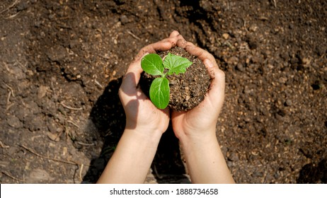 Hands planting organic plant seedling in fertile ground and covering it with soil. Concept of growth, new life, environment protection and organic planting on farms.