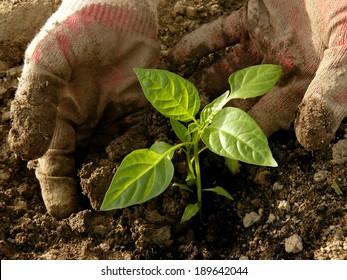 hands planting sweet pepper seedlings