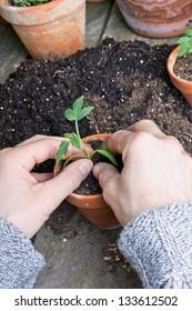 hands planting tomato plant/tomato plant/planting