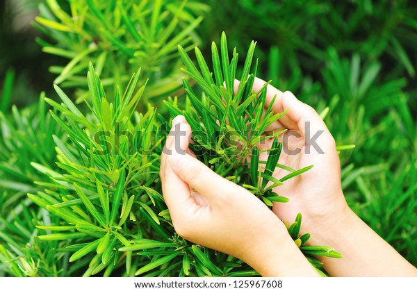 hands protect yew podocarpus
