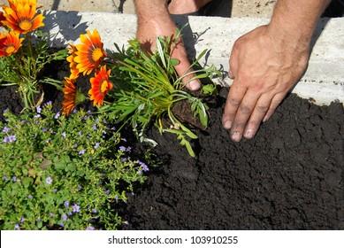 hands putting gazania flower in black soil in flowerbed
