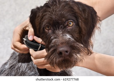 hands putting on collar on the dog