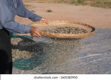Hands of rural farmers using bamboo threshing basket are sifted with a sieve of seed mung beans.