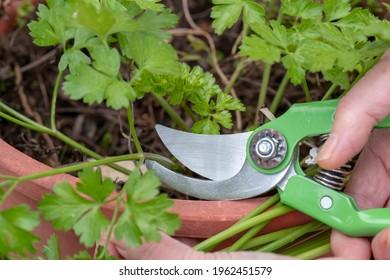 hands-scissors-parsley-garden-260nw-1962