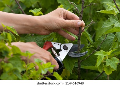 hands with secateurs pruning black currant in the garden
