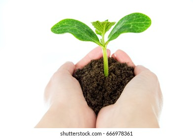 Hands with seedlings in the ground