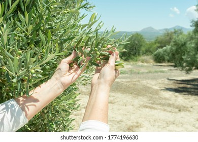 Hands show the new harvest of olives