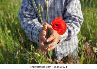 Hands of a small white boy with a red poppy flower. Hands of the kid in a checkered shirt standing on a green meadow hold a red flower.