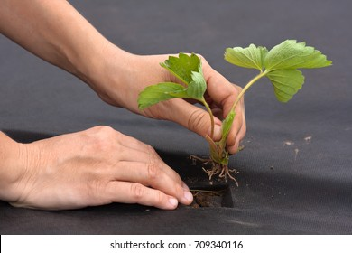 hands with strawberry seedling ready to planting