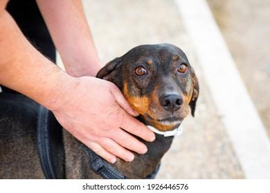 hands-stroking-dachshund-dog-260nw-19264