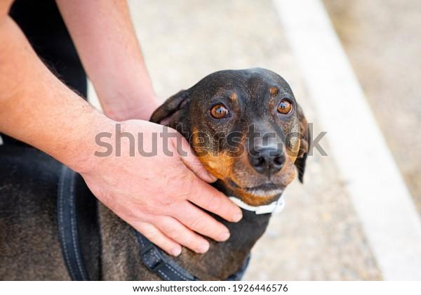hands-stroking-dachshund-dog-600w-192644