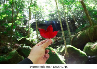 Hands that hold red maple leaves,on the background, waterfalls and green forests,Phu Kradueng in Thailand.