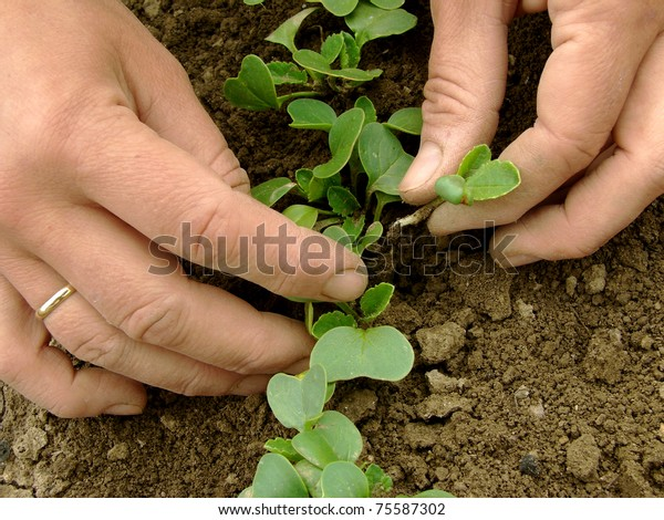 hands thinning of radishes shoots