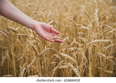 Hands touching golden wheat field, farmer enjoying great harvest