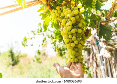 Hands Touching Green Grapes Fruit Plants Outdoors By Sunset. Ripe Grapes Hung on Vineyards of Grape Trees. Healthy Food Concept.
