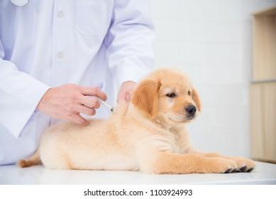Hands of veterinarian giving injection to little golden retriever