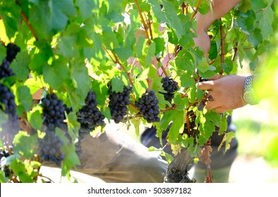 Hands in the vineyard picking grape during wine harvest grape