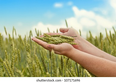 Hands with wheat ears on cereals field in summer