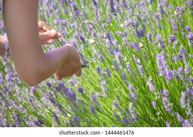 Hands of white young woman close up. Female hand cut stalks of lavender. Lavender flowers, lavender field on farm, harvest. Selective focus image, copy space.