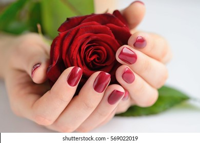 Hands of a woman with dark red manicure with red rose on white background