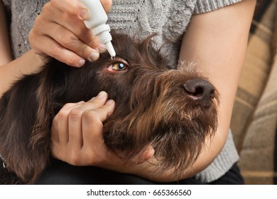 hands of woman dripping antibiotic drops to eyes of dog