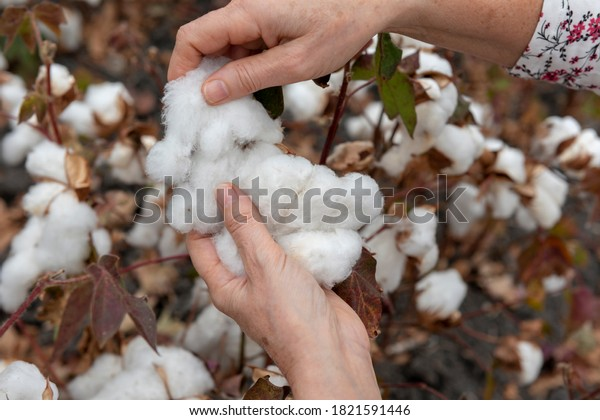 Hands of a woman harvesting cotton in the field