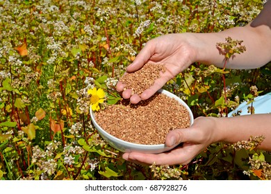 Hands of the woman hold a bowl with buckwheat in the field of the blossoming buckwheat of a sowing campaign (Fagopyrum esculentum Moench)