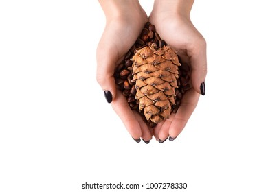 Hands of woman holding cedar cone with  cedar nuts,  on white background