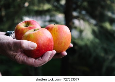Hands of woman holding three red apples. Space for copy