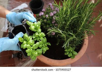 hands woman planting aromatic plants
