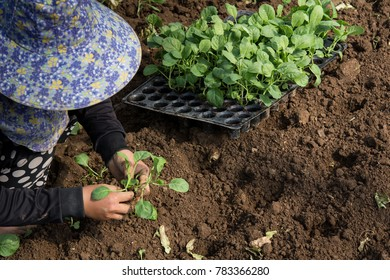 Hands of a woman planting vegetable in garden, Movement of hand planting
