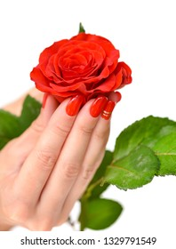 Hands of a woman with red manicure with scarlet rose on white background