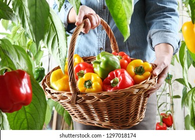 hands woman in vegetable garden with wicker basket picking colored sweet peppers from lush green plants, growth and harvest concept, close up