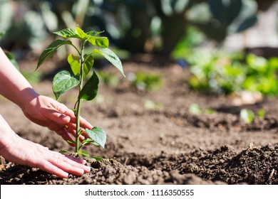 Hands of a woman who takes care of a plant in the vegetable garden