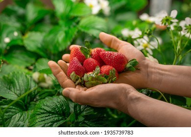 Hands of worker of contemporary vertical farm or greenhouse with heap of red ripe strawberries