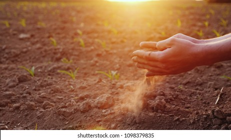The hands of the young farmer keep fertile soil on the field with corn seedlings. Organic Products Concept