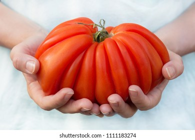hands of a young woman, holding picked big crinkly red tomato