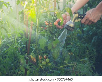 The hands of a young woman watering tomato plants in a greenhouse
