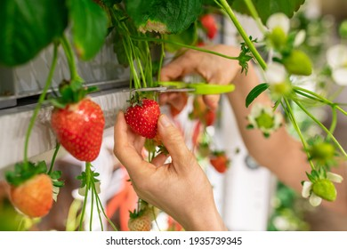 Hands of young worker of vertical farm or greenhouse cutting red ripe strawberries with scissors