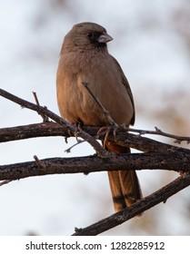 A handsome Abert's towhee (Melozone aberti) perched on a branch in the California desert near the Salton Sea