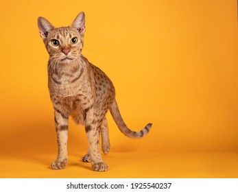 Handsome adult male Ocicat cat, standing facing front. Looking curious towards camera. Isolated on a solid orange yellow background. - Shutterstock ID 1925540237