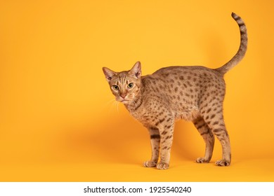 Handsome adult male Ocicat cat, standing side ways. Tail up and looking towards camera. Isolated on a solid orange yellow background. - Shutterstock ID 1925540240