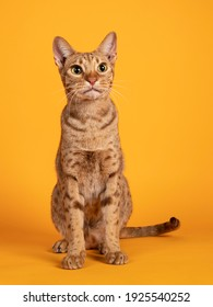 Handsome adult male Ocicat cat, sitting up facing front. Looking curious towards camera. Isolated on a solid orange yellow background. - Shutterstock ID 1925540252
