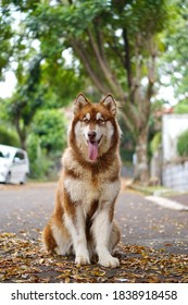 The handsome alaskan malamute is sitting on the dry leaves